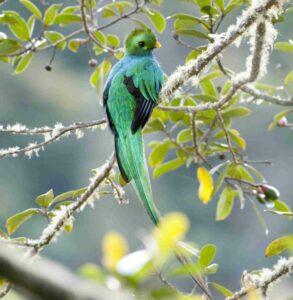 Resplendant Quetzal