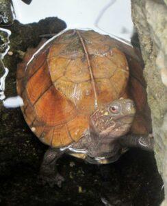 Keeled Box Turtle.