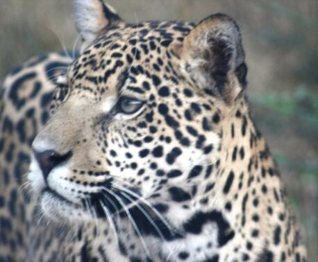 Jaguar in the wild, close up