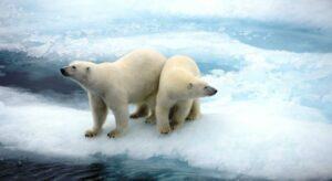 Two Polar Bears on an ice sheet.