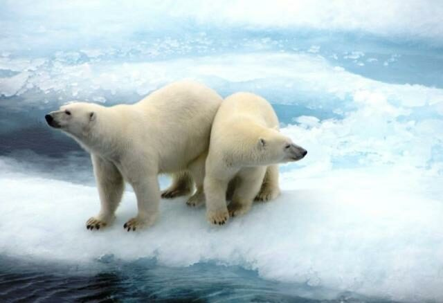 Two Polar Bears on an ice sheet.