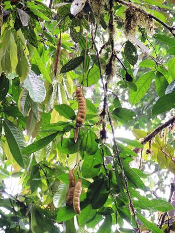 Ecuadendron seed pods.