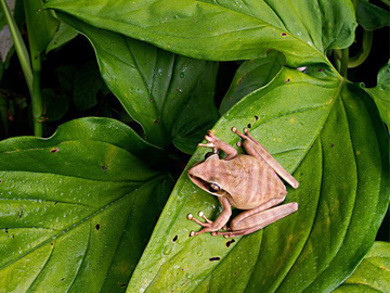 Basin Tree Frog (Hypsiboas lanciformis).