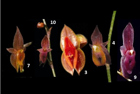 Images of five orchids.