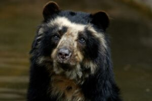 Spectacled Bear.