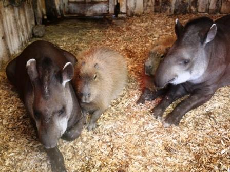 A capybara lies between two tapirs at Blackpool Zoo.