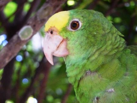 A close up of a Yellow-headed Parrot.