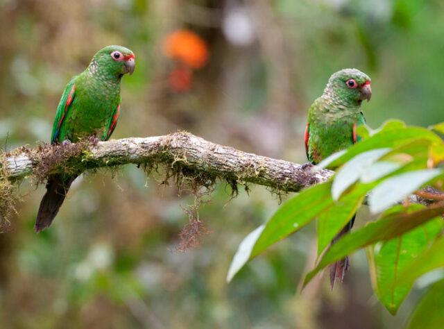 El Oro Parakeet.