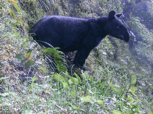Mountain Tapir.