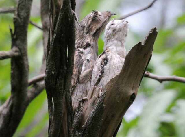 Common Potoo mother and chick.