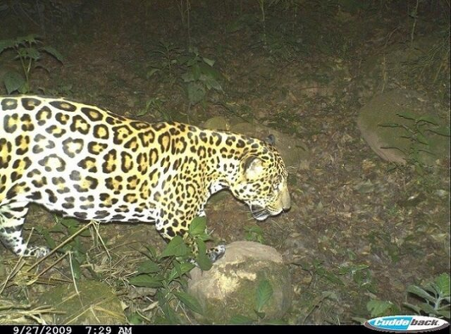Image of Jaguar from camera-trap study carried out in El Pantanoso.