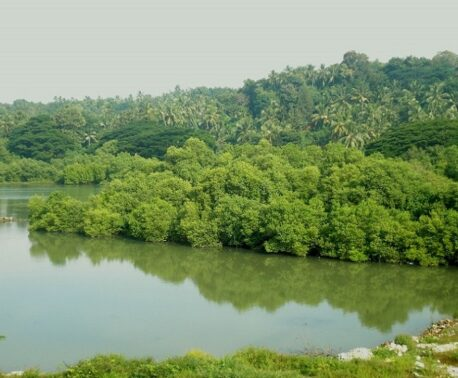 Mangroves in the Thalassery river basin, Kannur, Kerala, India. Credit: Ks.mini, WikiMedia