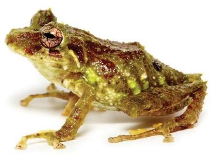 Yanez Rain Frog. Credit: Navarrete et al, 2016.