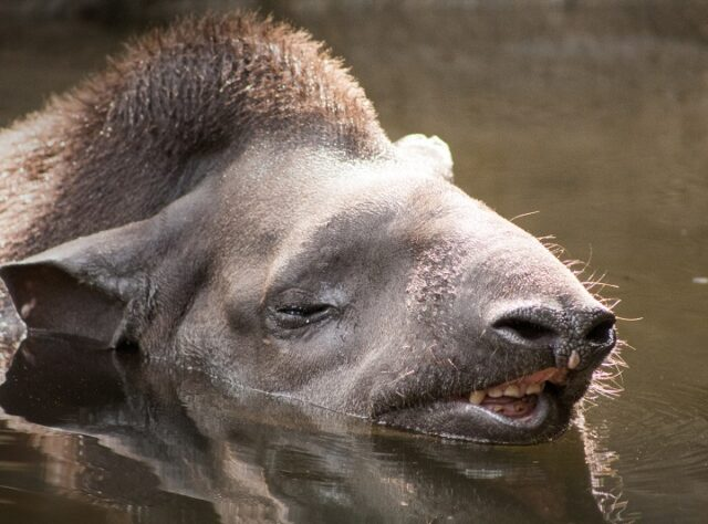Lowland tapir swimming