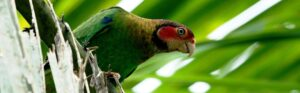 rose-faced-parrot-banner