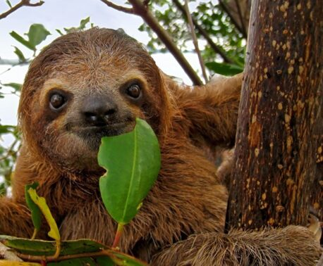 Brown-throated Two-toed Sloth