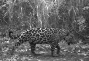 Jaguar in Cerro Blanco.