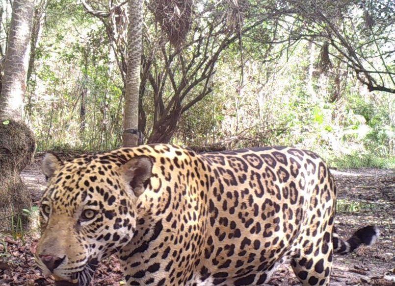 Jaguar in Paraguay (Camera Trap)
