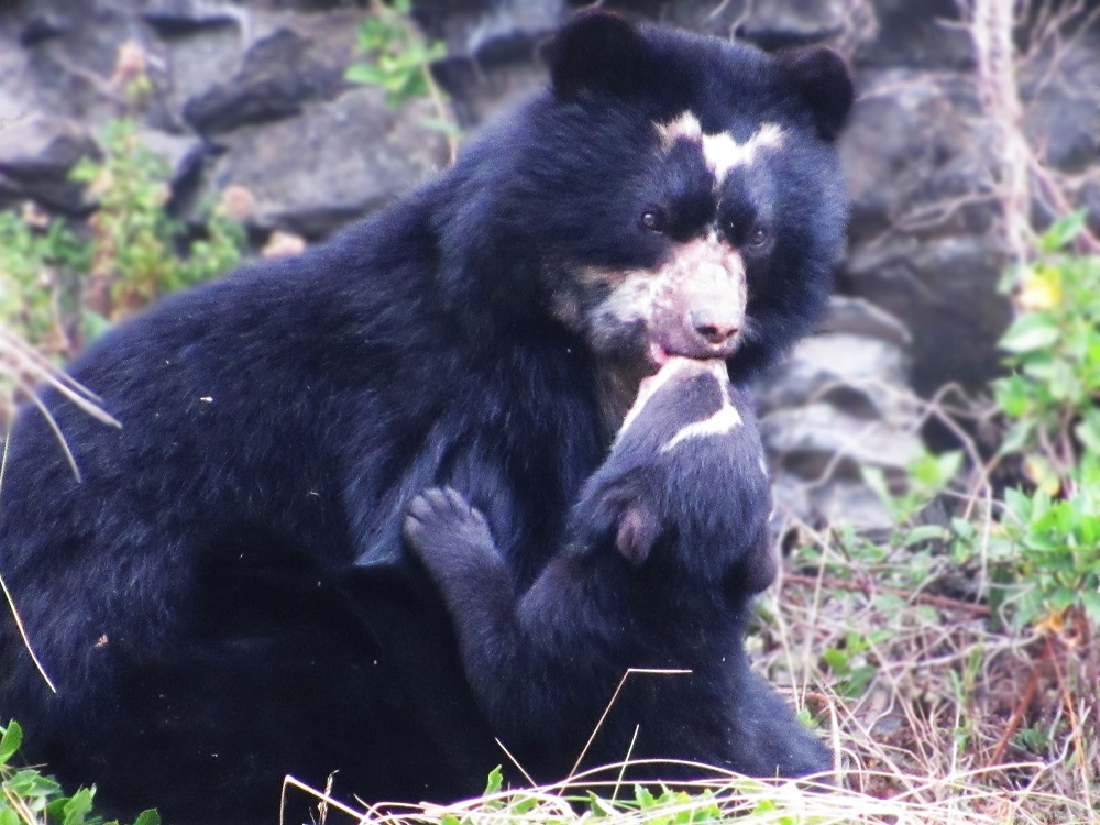 Spectacled bear kiss