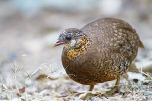Green-legged Partridge