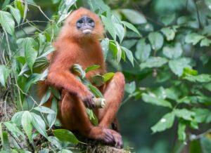 The maroon langur, maroon leaf monkey, or red leaf monkey