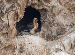 Bearded Vulture nest