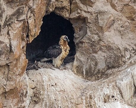 Bearded Vulture nest