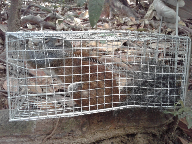 Horse-tailed Squirrel