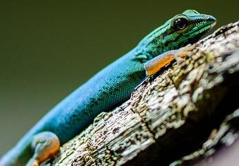 Turquoise Dwarf Gecko