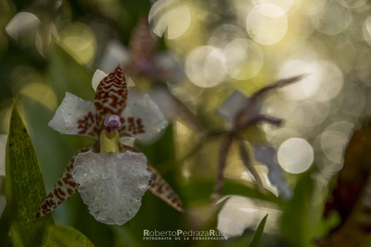 Lemboglossum rossii copia