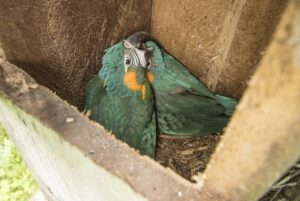 Blue-throated Macaw nest box
