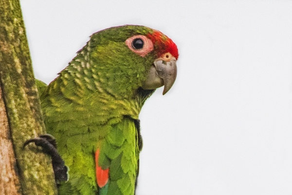 El Oro Parakeet