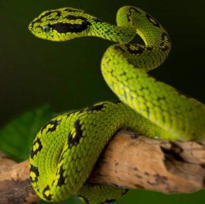 Guatemalan Palm Viper