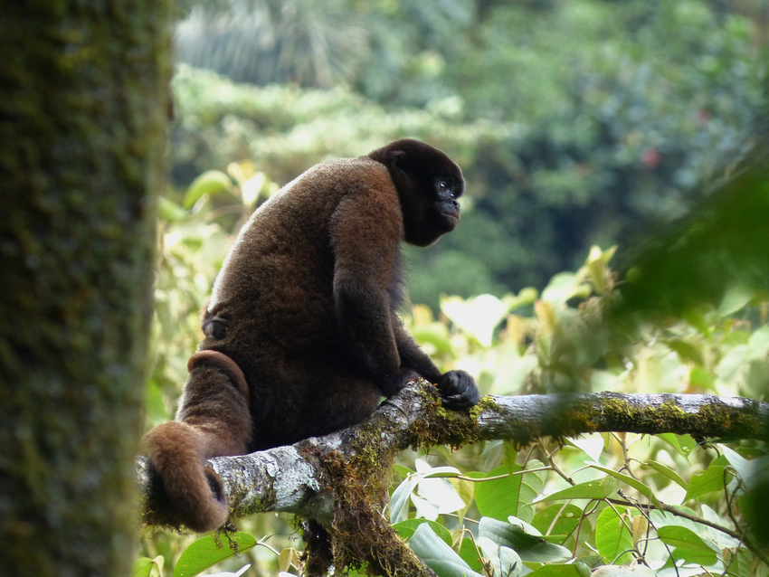 Woolly Monkey ©Luis Recalde/EcoMinga