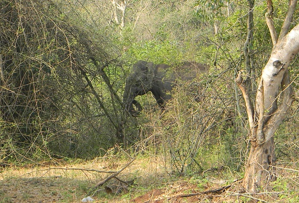 Elephant in Mudahalli