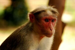 Portrait of Bonnet Macaque. Credit Attis1979, Wikimedia commons
