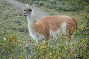 Guanaco portrait, Flickr, credit P E Hart