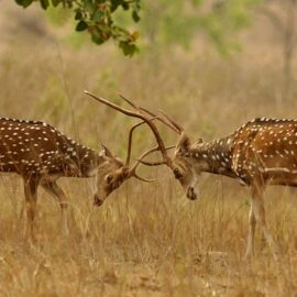 Chital stags sparring in Kanha, Central India. Wikimedia Commons, T. R. Shankar Raman