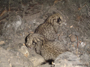 Two Geoffroy's Cat kittens, Argentina. Credit Victoria Lantschner Flickr