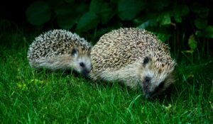 European Hedgehog Mother and Child. Credit Wikimedia Filip B