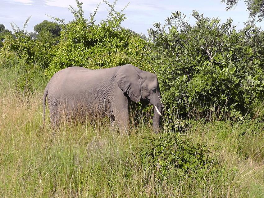 African Elephant at Kasanka National Park. Credit John Burton/WLT