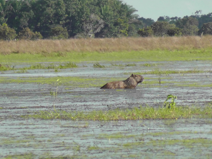 Capybara in floodwaters at Barba Azul, Bolivia. On the Rio Omi. Credit Ruth Canning