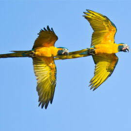 Blue-throated Macaws in flight, Bolivia. Credit Paul B Jones