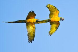 Blue-throated Macaws in flight, Bolivia. Credit Paul B Jones