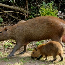 Capybara with young, Chaco-Pantanal Reserve, Paraguay, Saul Arias Photography