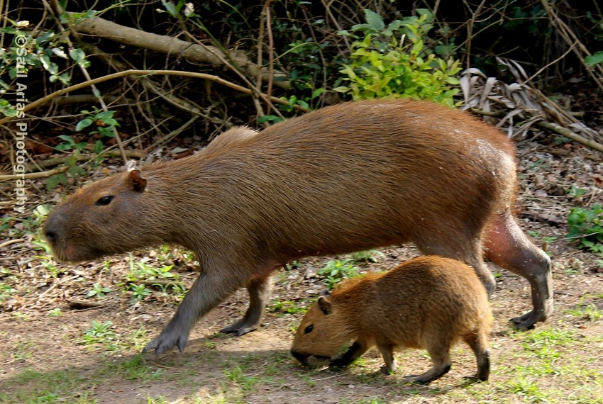 Capybara with young, Chaco-Pantanal Reserve, Paraguay, Saul Arias Photography