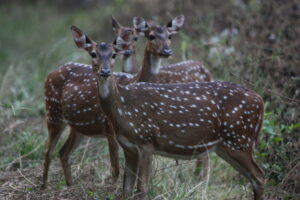 Group of Chital, India. Credit WLT/Emma Beckett
