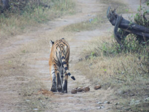 Bengal tiger stalks off down a track, tail waving. Corbett National Park, India. Credit WTI/Sandeep Kumar Tiwari