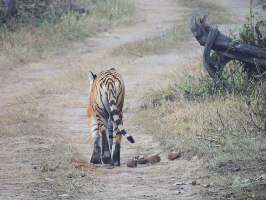 Bengal tiger stalks off down a track, tail waving. Corbett National Park, India. Credit WTI/Sandeep Kumar Tiwari
