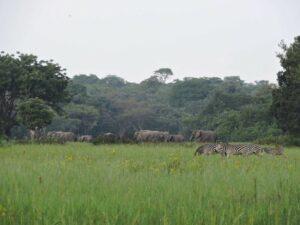 Elephant with Zebra in Kasanka Grasslands,. Zambia. Credit Kasanka Trust